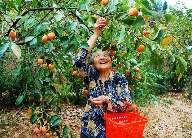 渑池南村采摘蜜罐柿子的一八旬老太。