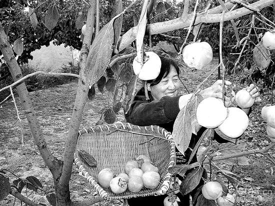 金秋柿子 喜获丰收