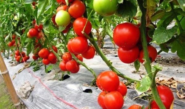 卢氏有个西红柿种植大王