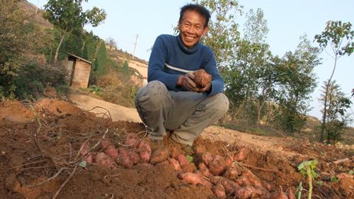 """红薯丰收农民乐"""""""