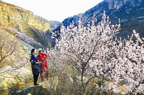 山桃花盛开 吸引众游客