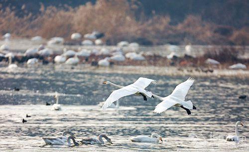 《河南日报》:三门峡:保卫碧水蓝天共享天鹅之美