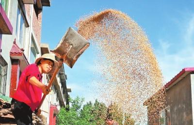 今年河南省小麦最低收购价每斤1.15元