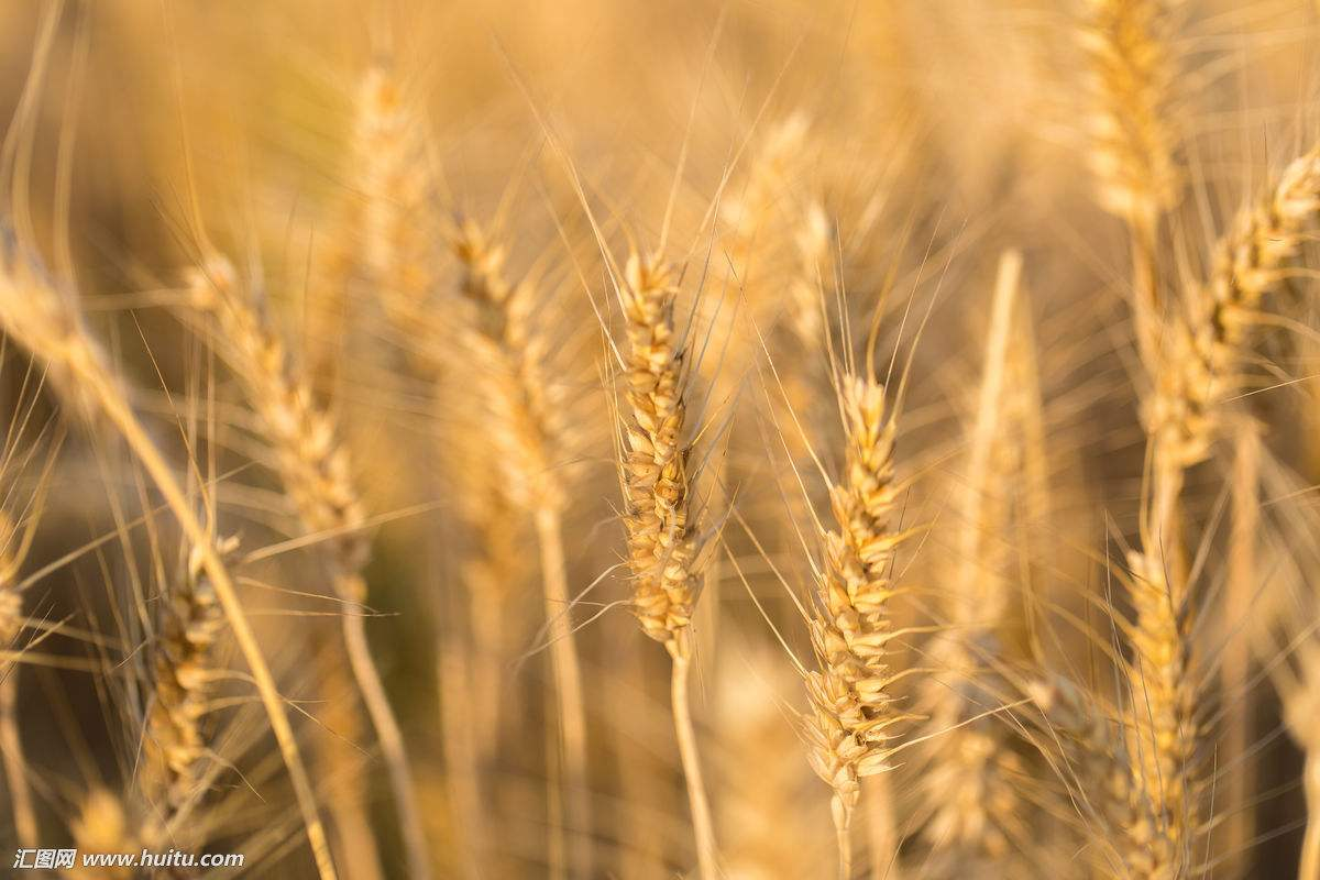 """麦子熟了"""""""