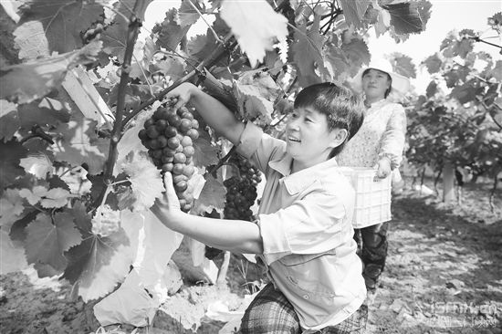 利用黄河滩涂地 大力发展葡萄种植