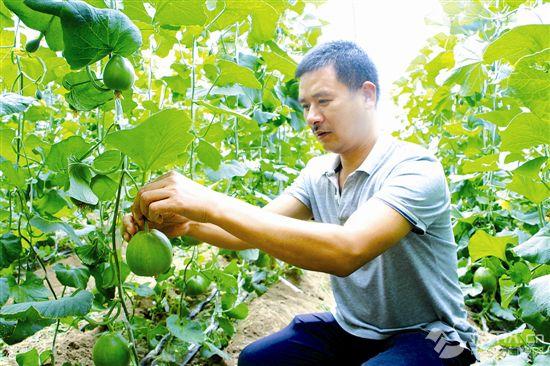 大棚瓜果:分季种植引众多游客