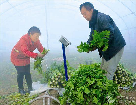 爱心助农 销售芹菜