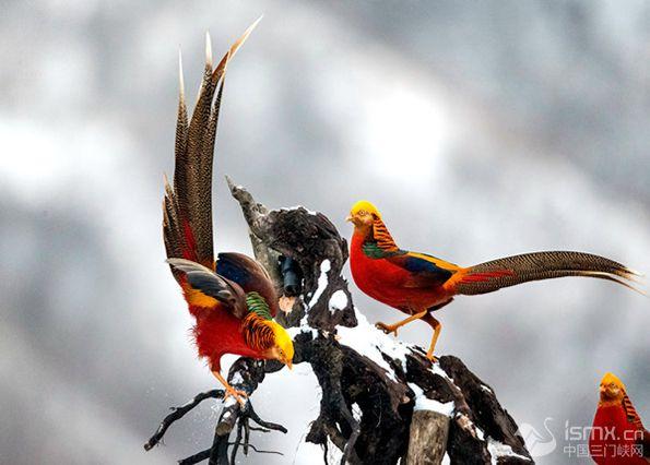 """三门峡雪地里来了一群""""红凤凰""""分分钟美成一幅画"""