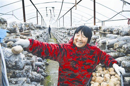 香菇种植助农致富