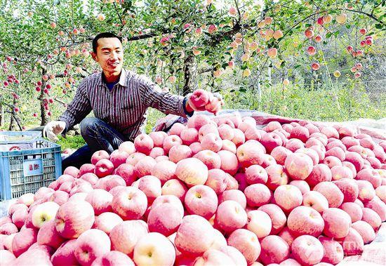 苹果进入成熟采摘期