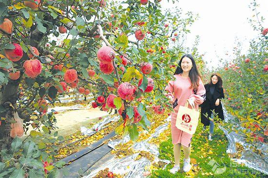 二仙坡苹果进入采摘高峰期