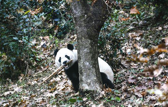 旅美大熊猫 回到四川