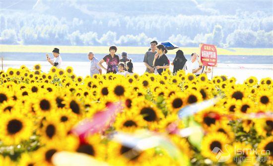 千亩葵花竞开放
