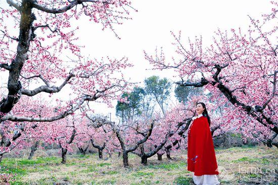 桃花盛开引客来