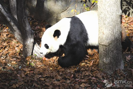 """旅美大熊猫""""贝贝""""回国欢送活动启动"""
